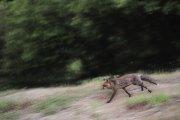 Vulpes vulpes - Lazio, Italia