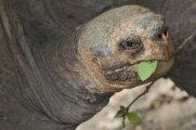 Geochelone porteri - Galapagos, Ecuador