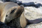Arctocephalus galapagoensis - Galapagos, Ecuador