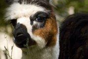 Lama glama - Peru