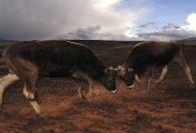 Bos Taurus - Peru