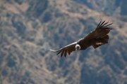 Vultus gryphus - Colca Canyon