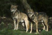 Canis lupus italicus - Abruzzo, Italia