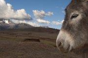 Equus asinus - Peru