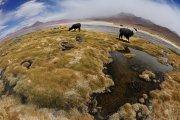 Lama glama - Laguna Colorada