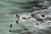 Otaria flavescens - San Fernando Bay