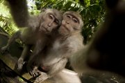 Macaca fascicularis - Bali, Indonesia