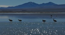 Flamingos in a andean lake