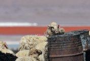 Ovis aries - Laguna Colorada refuge
