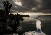 Sula nebouxii - Galapagos, Ecuador